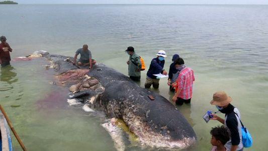 Se encontró muerto un cachalote con 6 kilos de plástico en su estómago