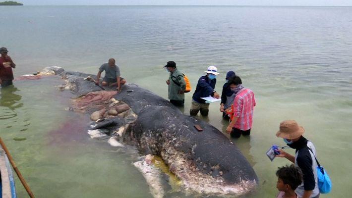 Imágenes fuertes: Un cachalote es encontrado muerto con 6 kg de plástico en su estómago