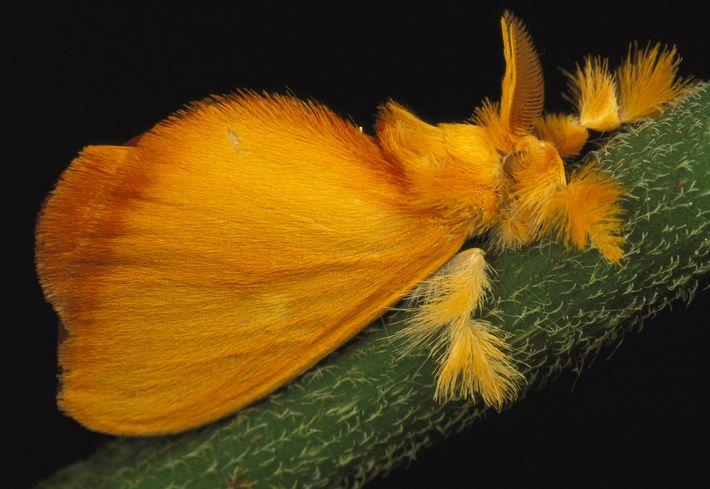 Esta polilla joya tropical, Acraga coa, se encuentra principalmente en América Central. Las polillas joya experimentan ...