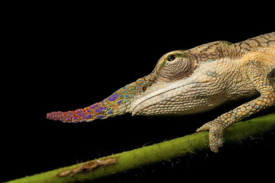 Camaleones de nariz larga como este en Madagascar a veces usan sus hocicos para jactarse. Sus ...