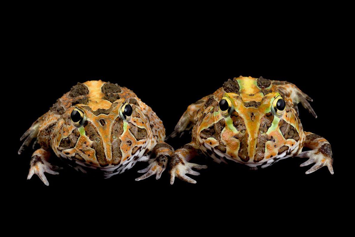 "Ranas cornudas ""Ceratophrys stolzmanni""."