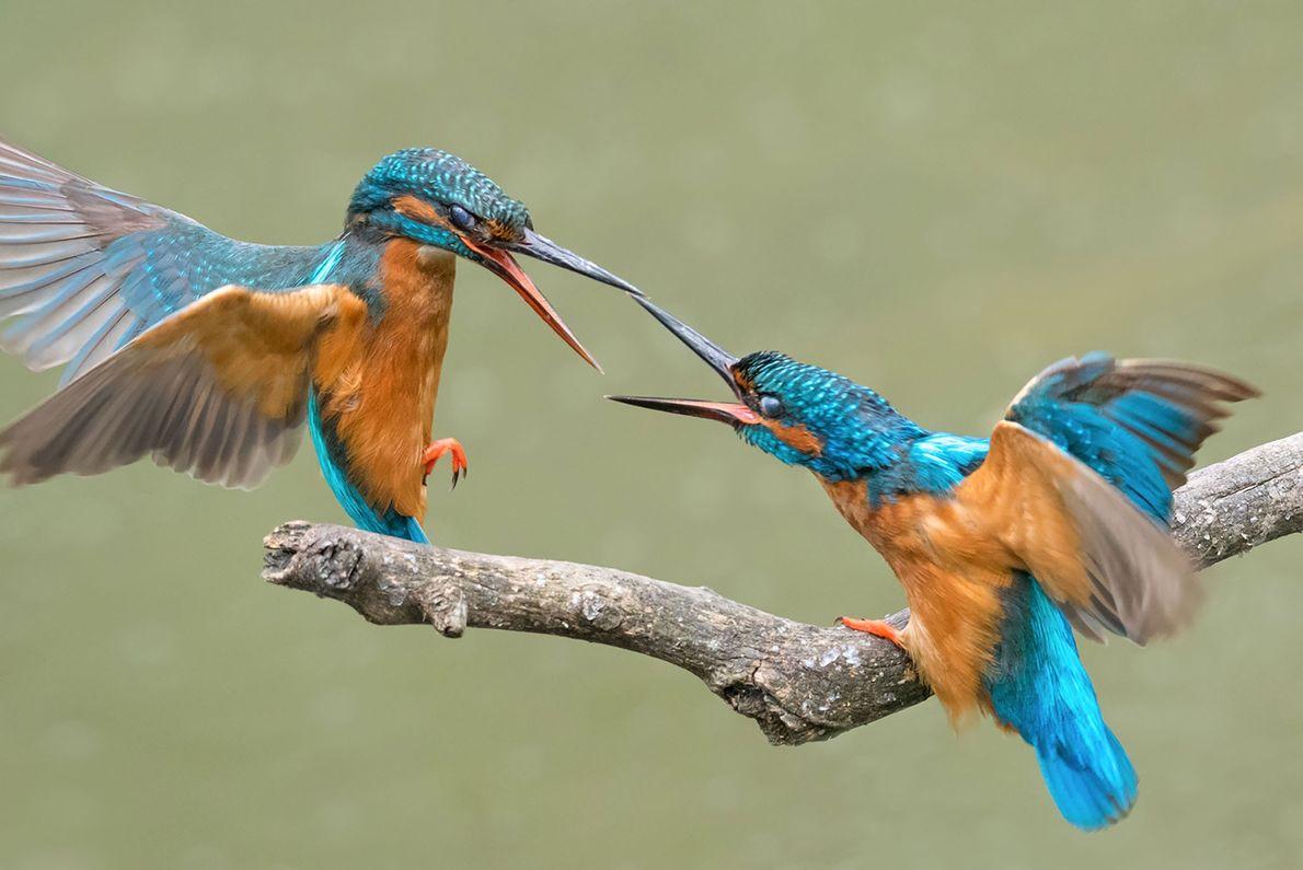 Dos Martín pescador pelean por una comida.