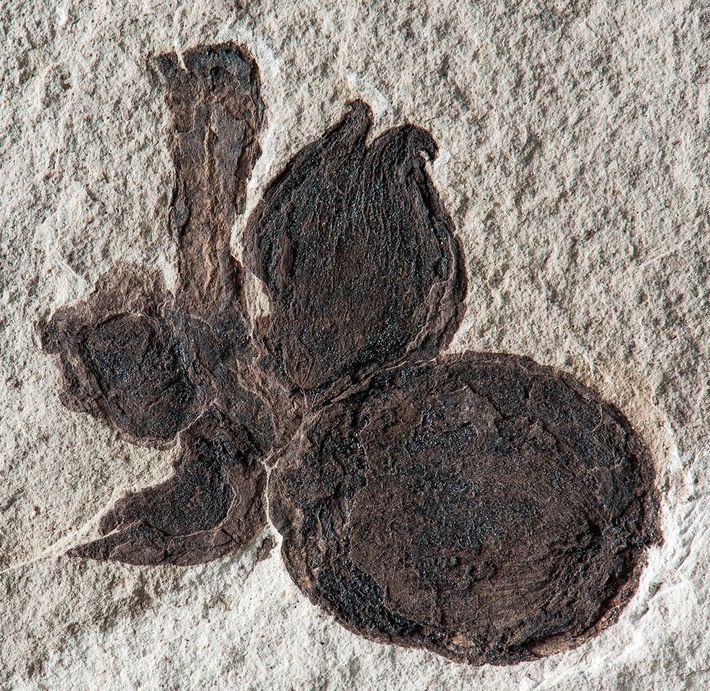 """Un primer plano muestra el fósil de una espiga """"Castanopsis"""" con cuatro frutos, oscuras y convertidas ..."""