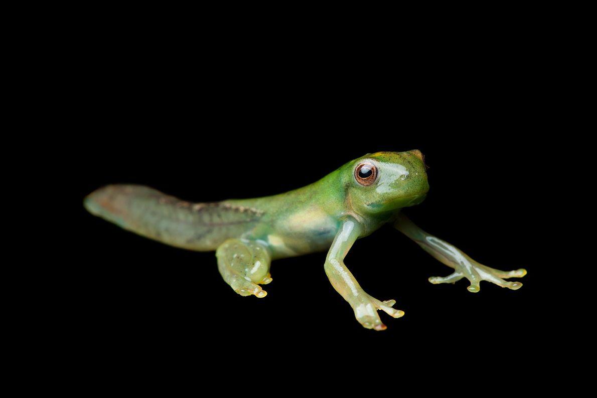 """La metamorfosis de una rana arborícola """"Hyloscirtus phyllognathus""""."""