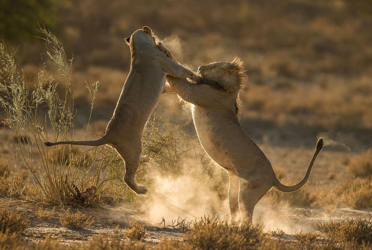 Leones forcejean en África del Sur.