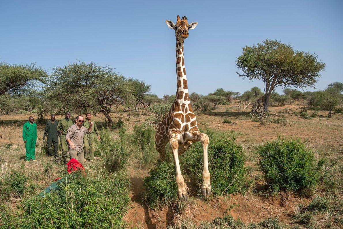 Los científicos liberan a esta jirafa luego de colocarle un localizador por radio.