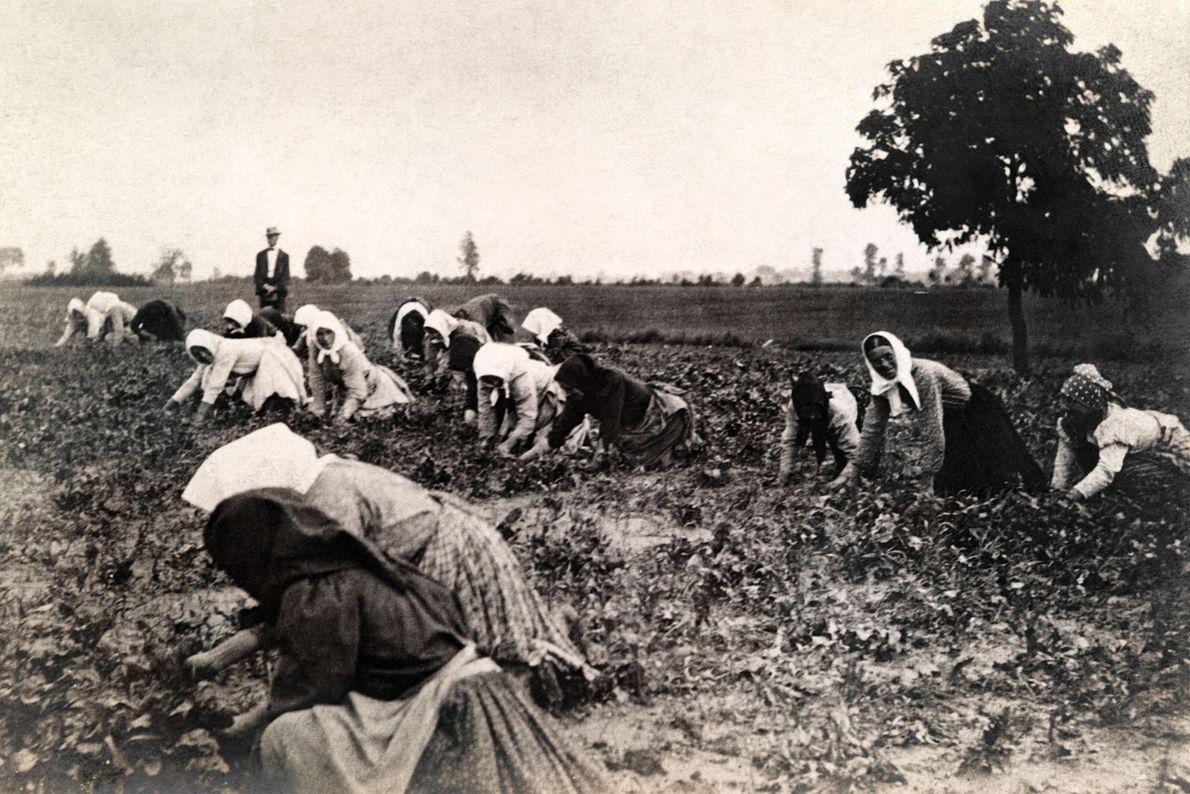 Las mujeres polacas se arrodillan en un campo mientras pisan las remolachas en 1907.
