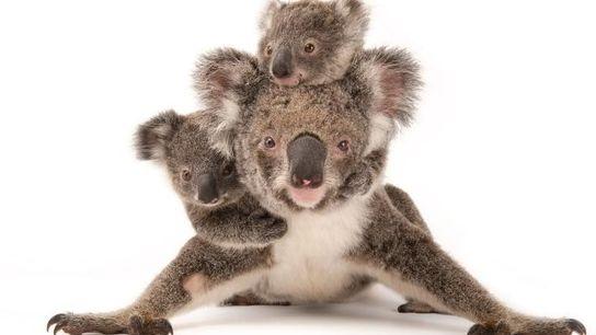 Madre y koalas bebés, estado: preocupación menor