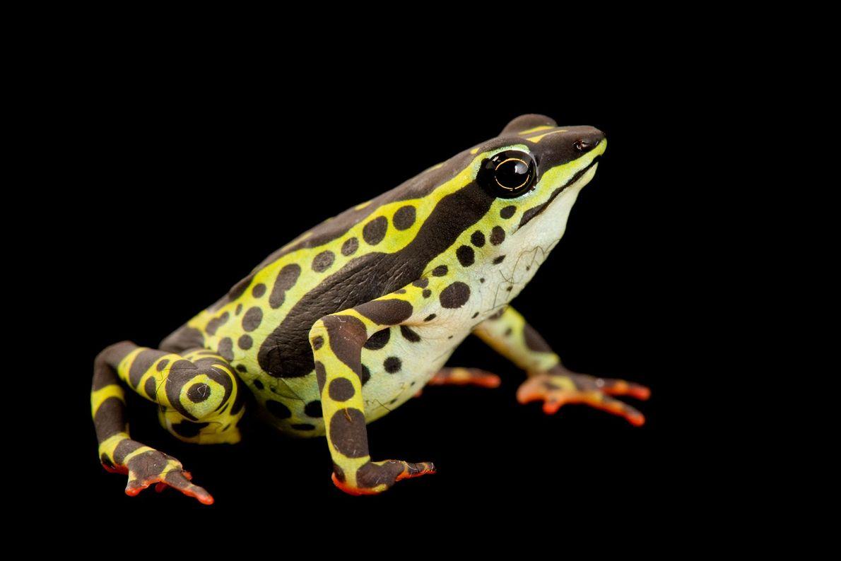 """Una rana poco frecuente """"Atelopus spumarius"""" en la Universidad Católica de Ecuador."""