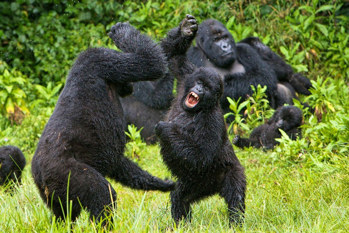 Gorilas pelean en Ruanda.