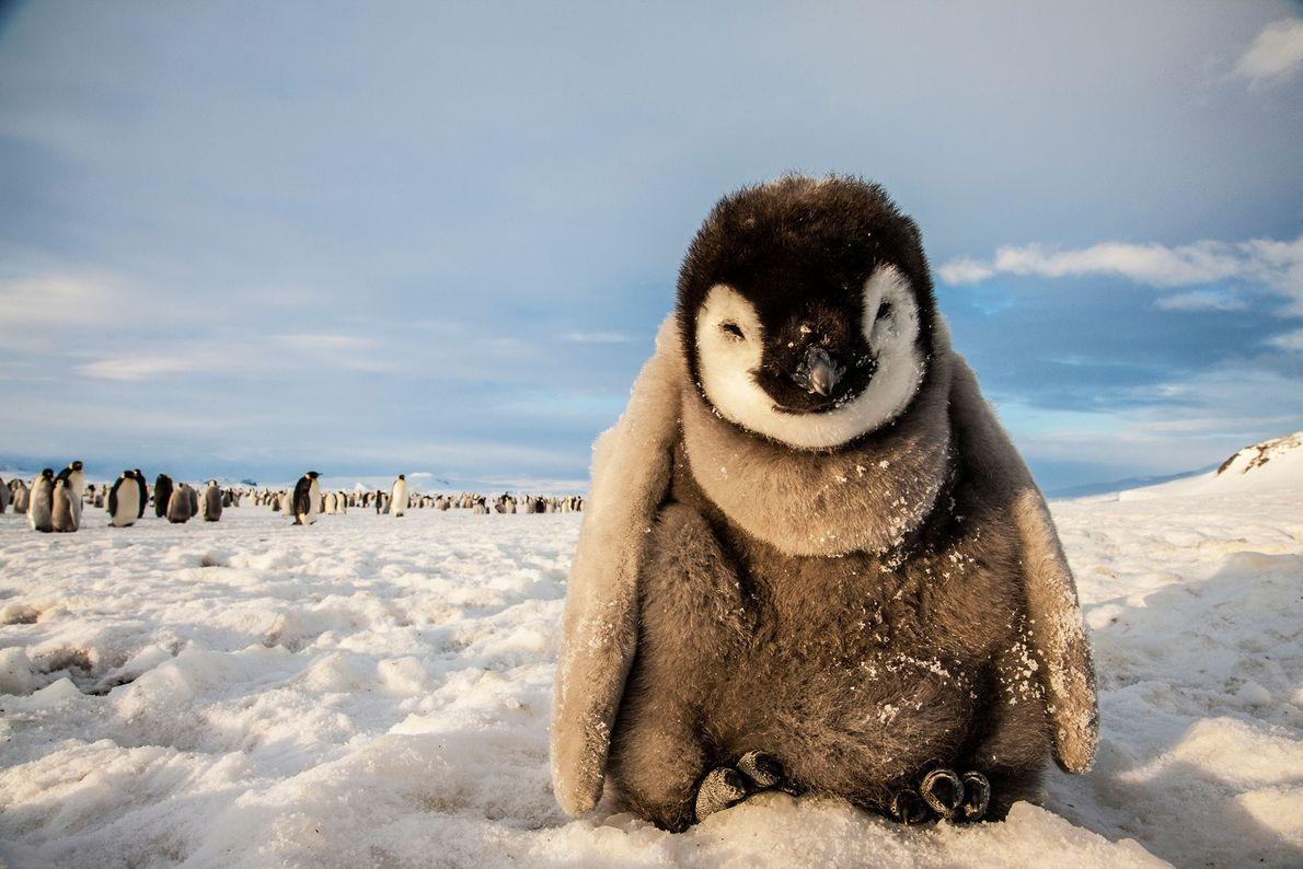 Pingüino emperador. Base Mario Zucchelli, mar de Ross, Antártida.