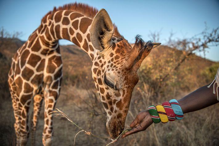 Un cuidador samburu alimenta a una jirafa huérfana en el Namunyak wildlife Consevancy en Kenia. Los ...