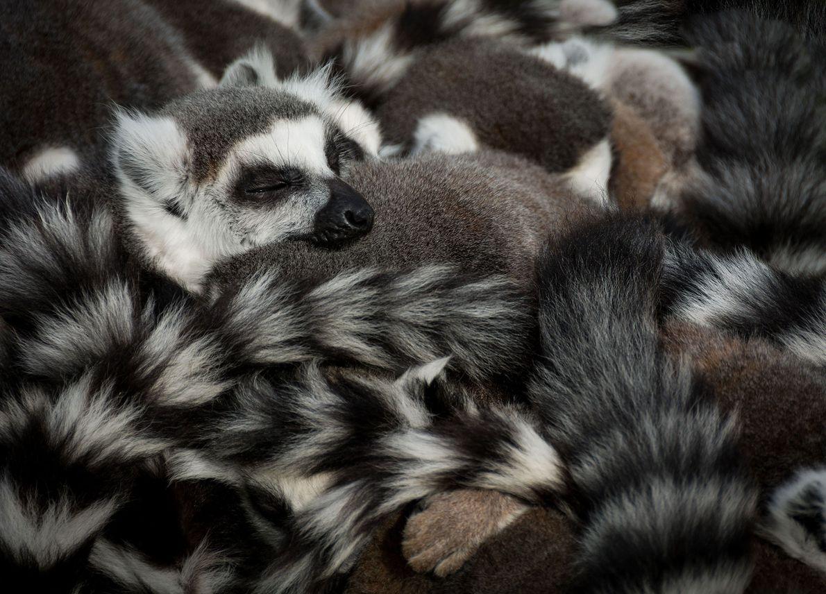 Un lémur duerme entre sus amigos.