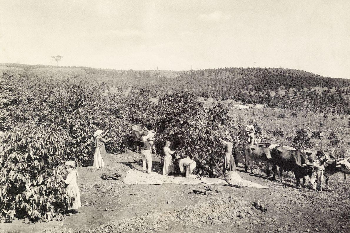 Los trabajadores cosechan granos de café en 1911 en una vasta plantación en Sao Paulo, Brasil.