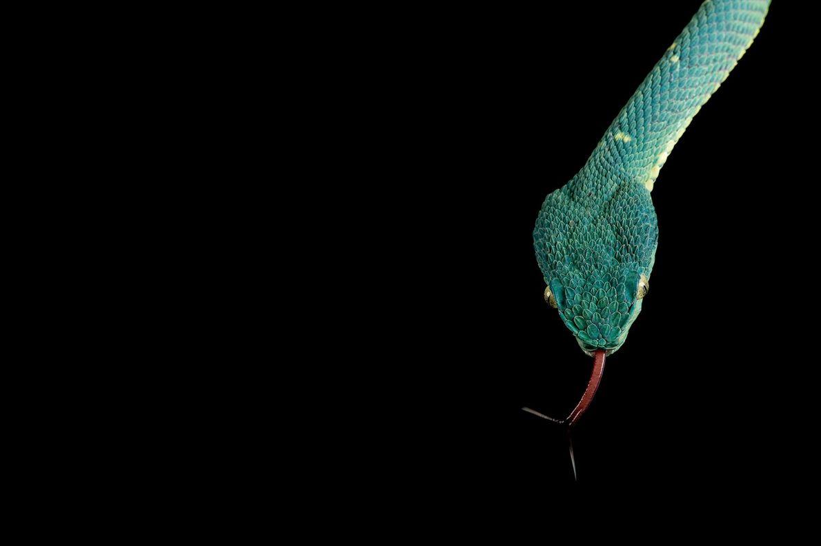 Una víbora de palma verde (Bothriechis lateralis).