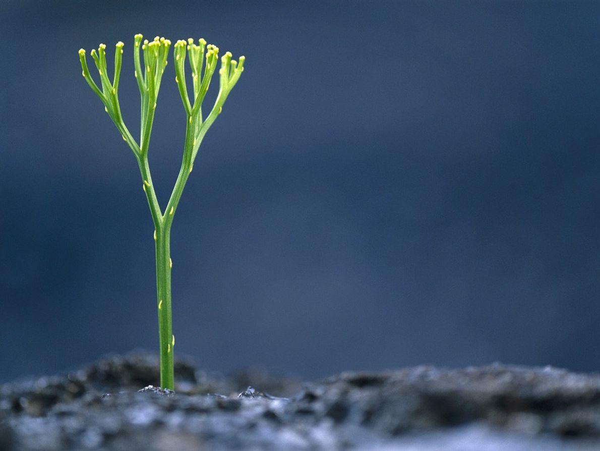 Una planta psilotum crece en lava recientemente enfriada en el Parque Nacional de Volcanes de Hawái. ...