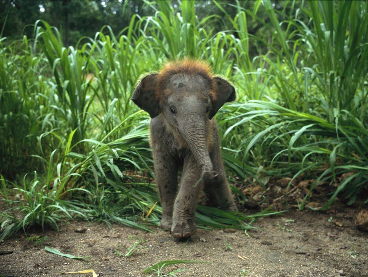 Los bebés elefantes nacen grandes, miden aproximadamente un metro de altura y pesan 91 kilogramos al ...
