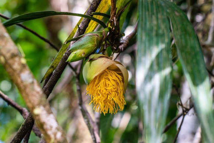 La sorprendente flor pertenece a una enredadera denominada Thoracocarpus bissectus.