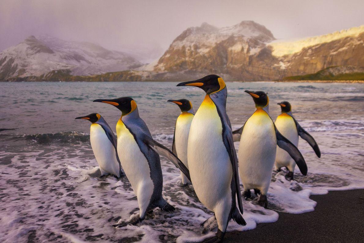 Pingüinos rey. Islas Georgias del Sur