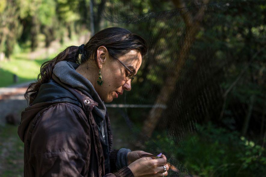 Claudia Isabel Rodríguez Flores quita un colibrí capturado en una red en La Cantera. Se examinan ...