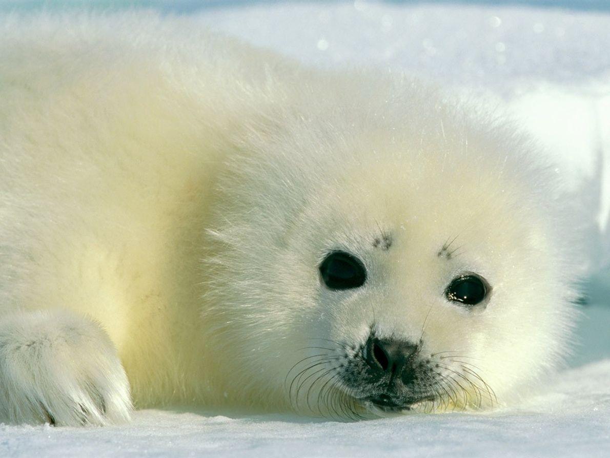 Una foca arpa madre y su cría en el Golfo de San Lorenzo. Las crías recién ...