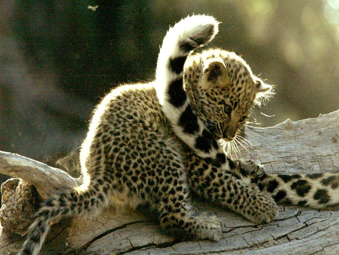 Normalmente son animales solitarios pero las crías de leopardo viven con sus madres durante dos años ...