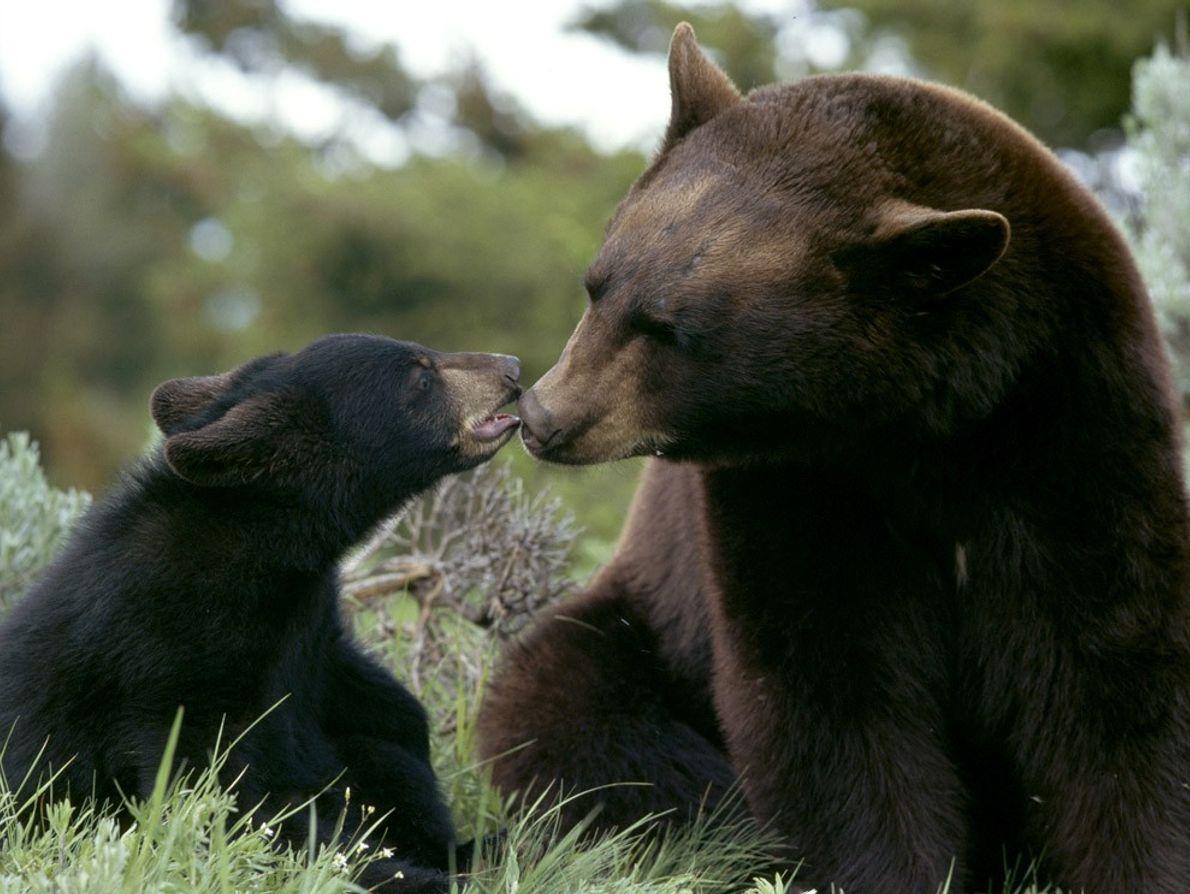 Las madres osas negras son notoriamente protectoras de sus crías, quienes permanecen con ellas durante aproximadamente ...
