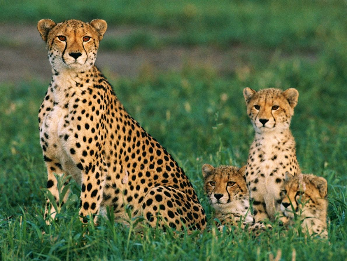 Las chitas suelen dar a luz de a tres crías por vez, y todos los cachorros ...