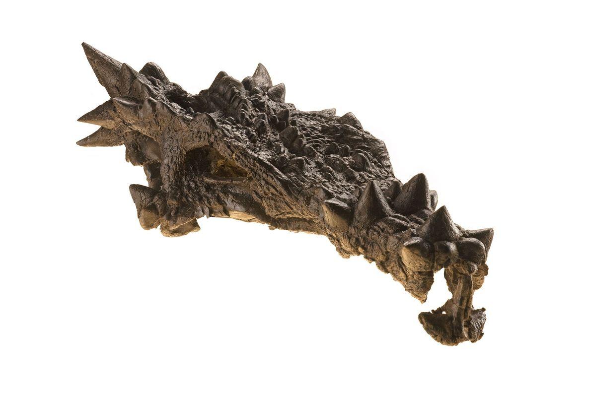 Este dinosaurio ornamentado apareció en la portada de la revista National Geographic de diciembre de 2007, ...