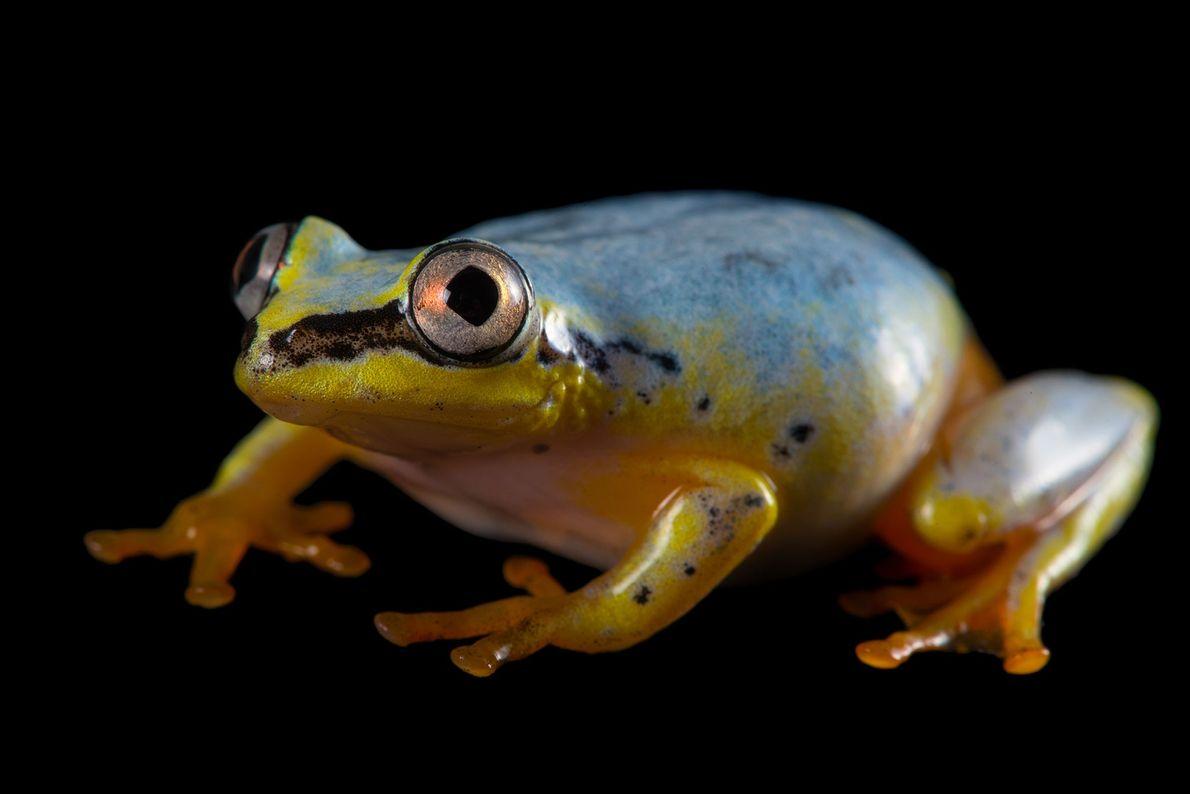 """Una rana """"Heterixalus madagascariensis"""" en el zoo de Plzen."""