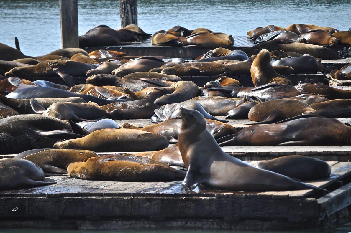 Lobos marinos. San Francisco, California, Estados Unidos.