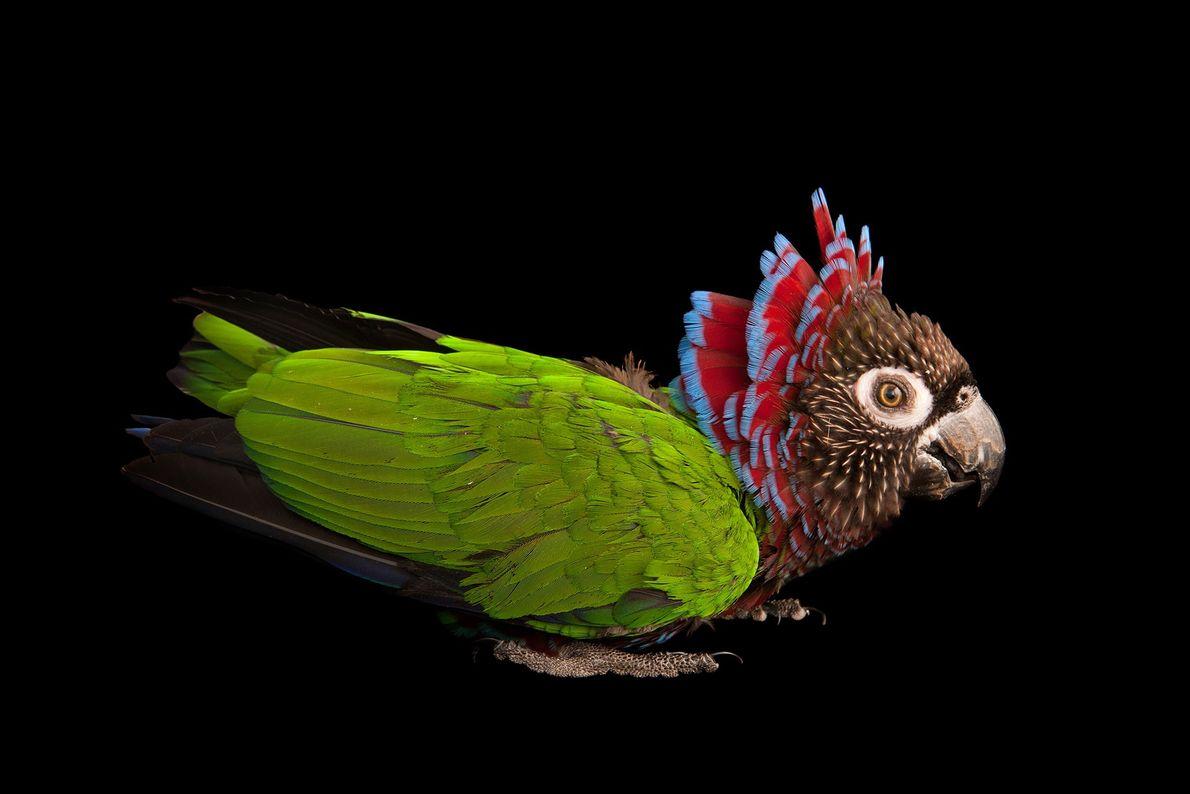 Loro cacique brasileño. Rare Species Conservatory Foundation (fundación para la conservación de especies poco comunes), Florida, ...