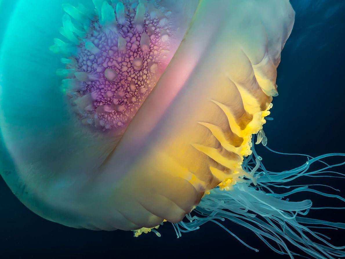 "Medusa corona (""Cephea cephea""). Shelly Beach, KwaZulu-Natal, Sudáfrica"