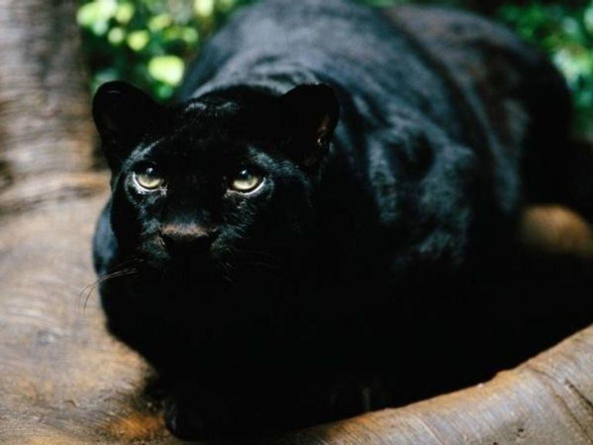 Las panteras negras como Bagheera no son una especie como tal, sino que se trata de ...
