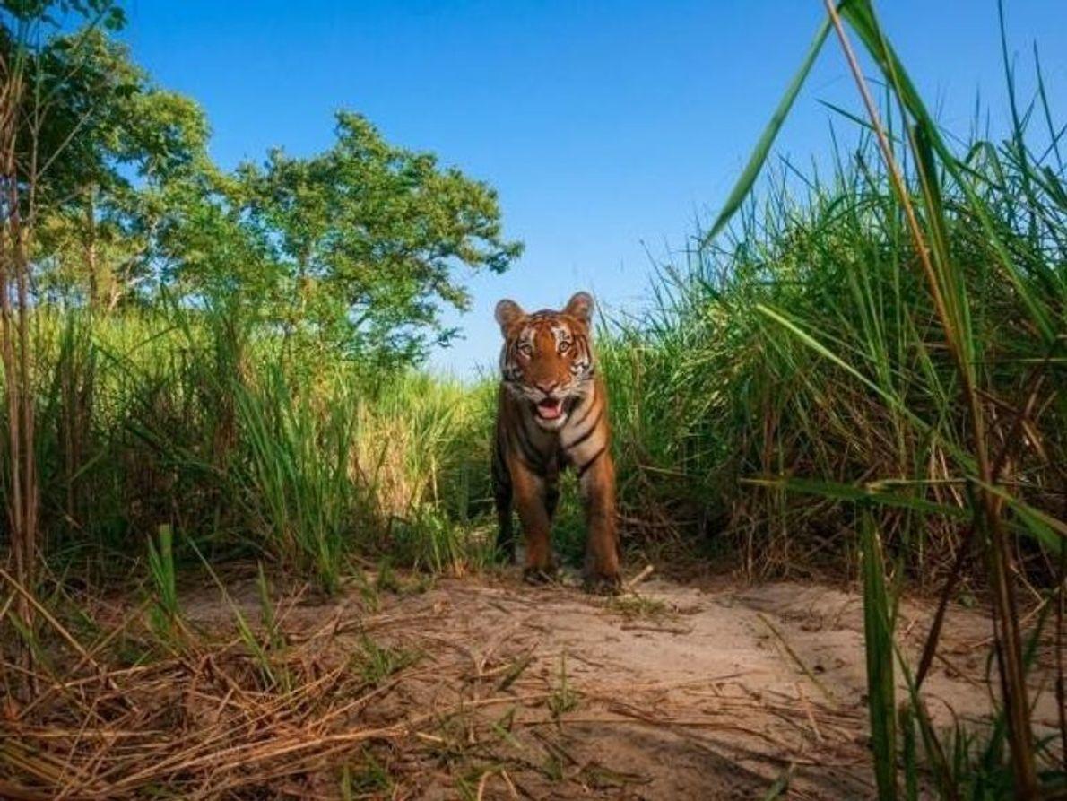 El enemigo más acérrimo de Mogwli en la jungla, el tigre de Bengala Shere Khan, es ...