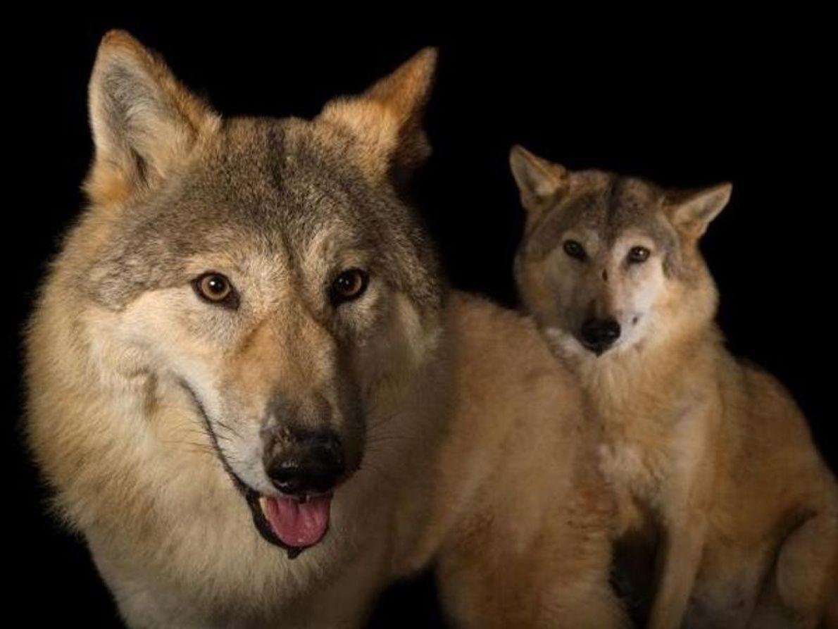 Los padres adoptivos de Mowgli son lobos de la India, que son simplemente lobos que viven ...