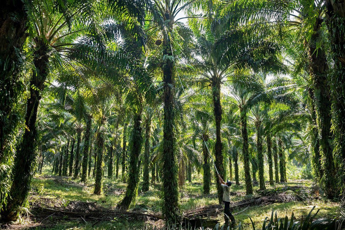 Un trabajador cosecha frutos de palma en una plantación en Sarawak, uno de los dos estados ...