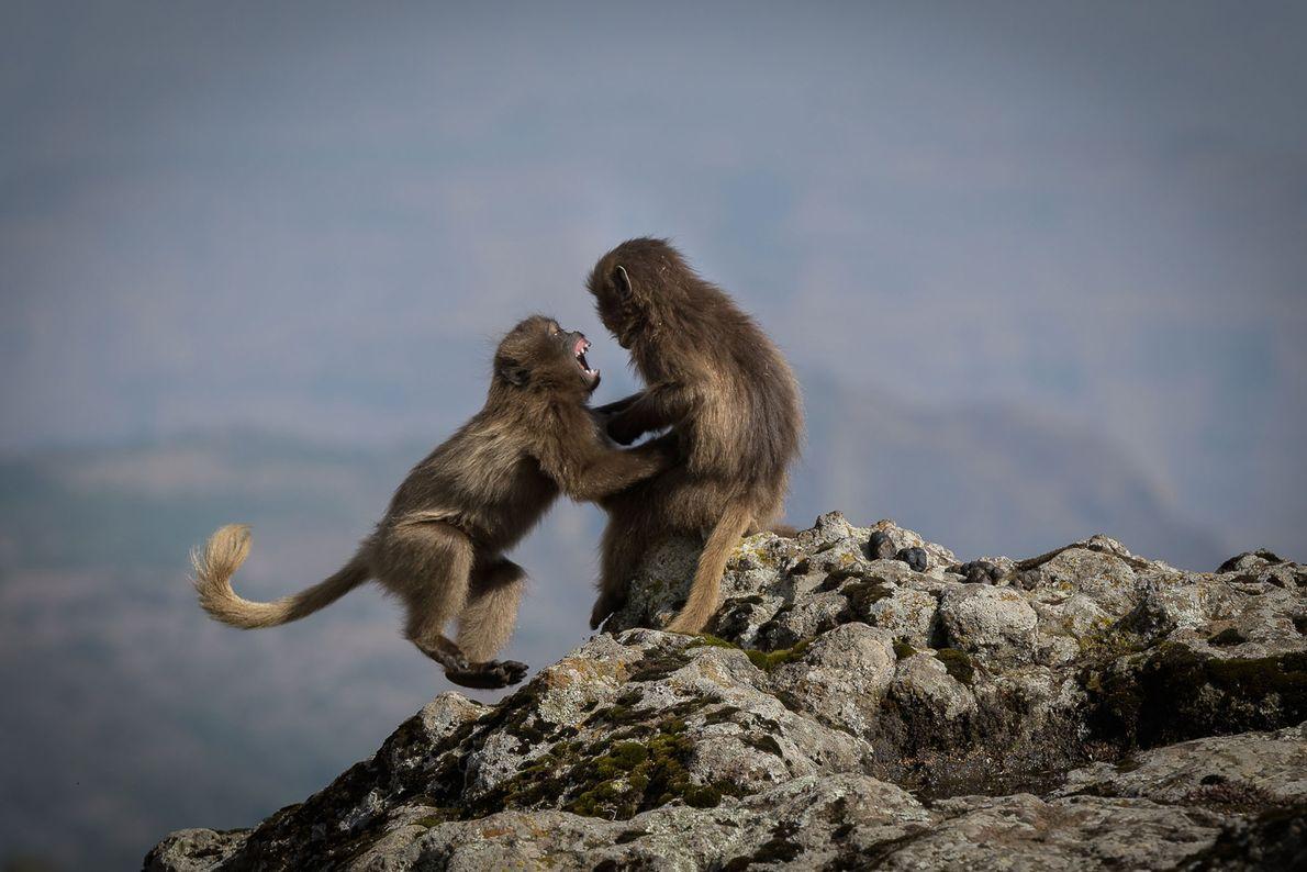Geladas tienen un altercado en Etiopía.
