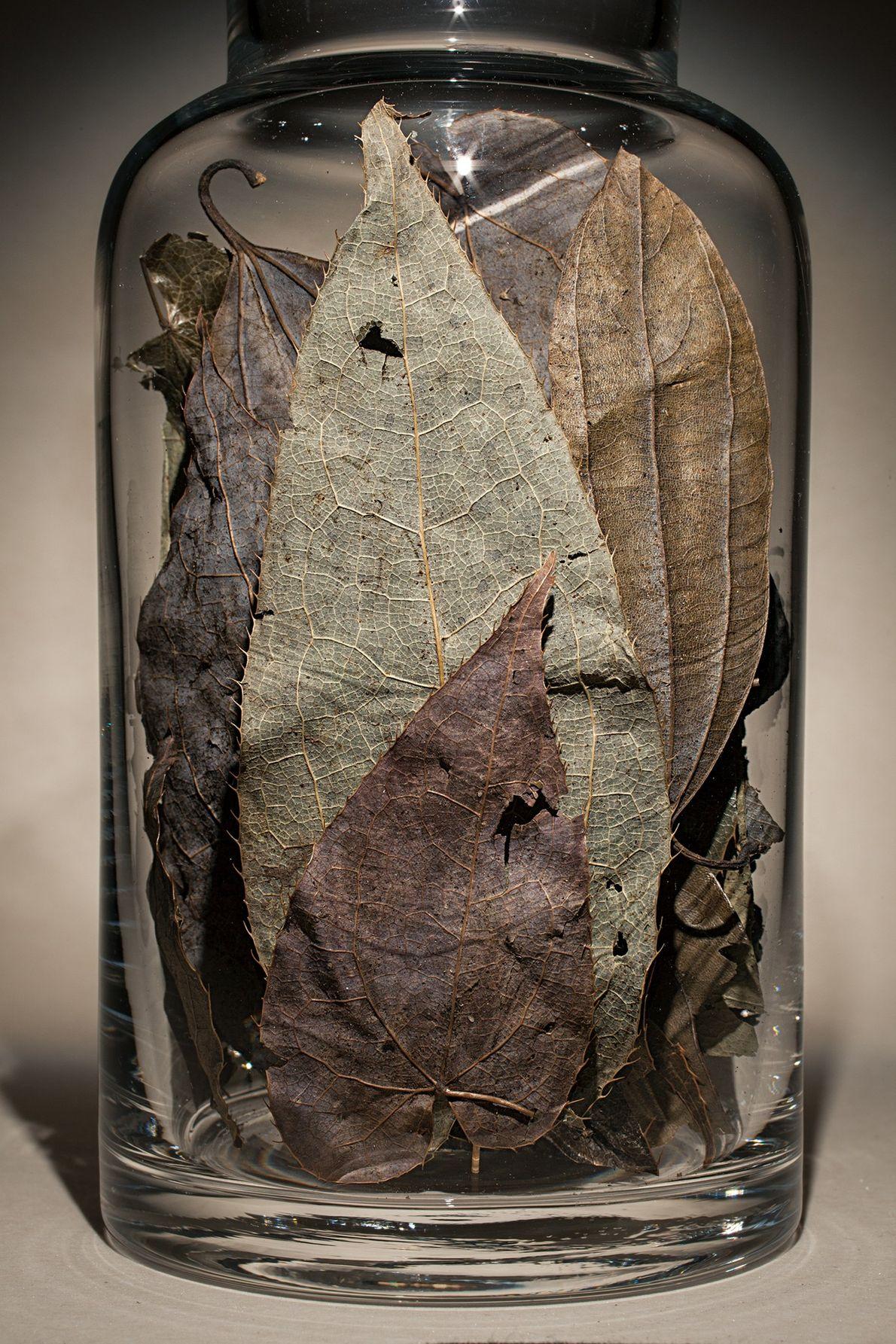 Nombre común: Hoja de Epimedium Latín: Epimedium brevicornu Chino: Yin yang huo Usos: Artritis, calambres en manos y pies
