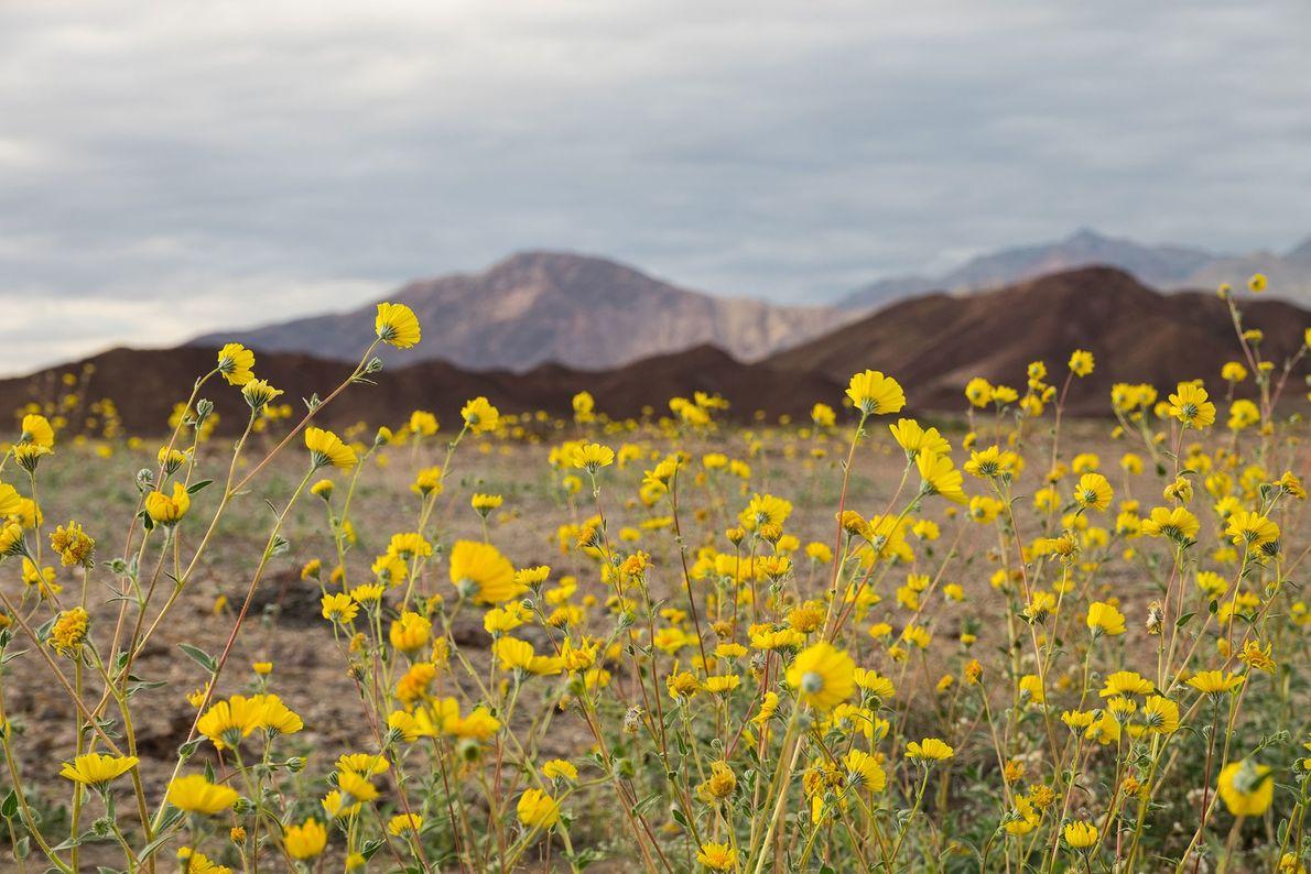 """Las flores silvestres experimentan una """"superfloración"""" en el Parque Nacional Death Valley gracias a las altas ..."""