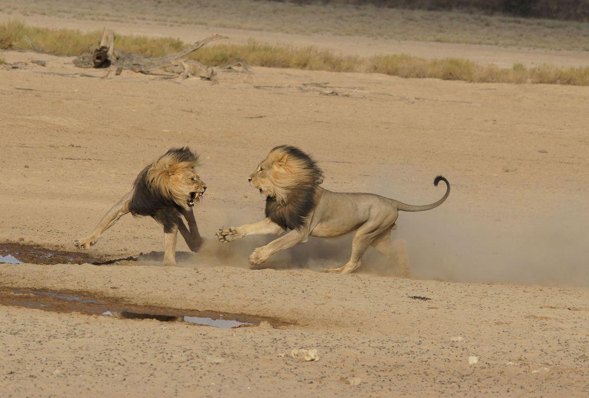 Leones se pelean en Botswana.