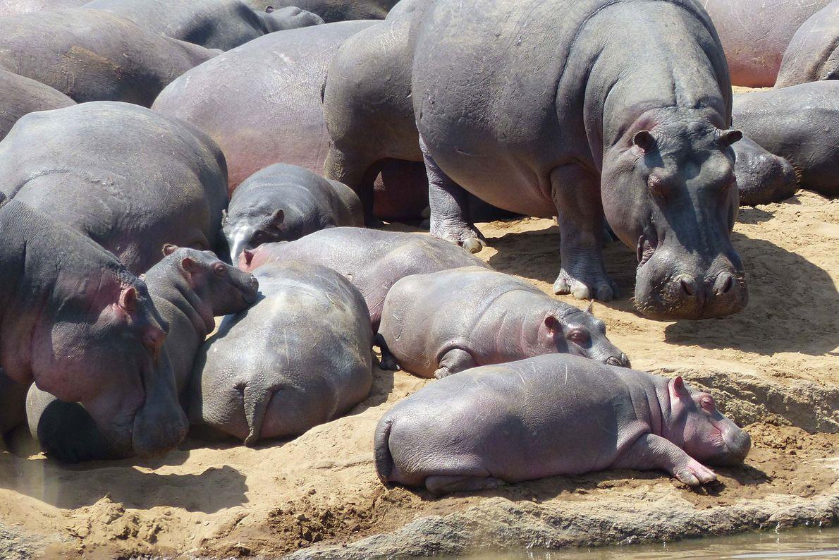 Hipopótamos. Tanzania.