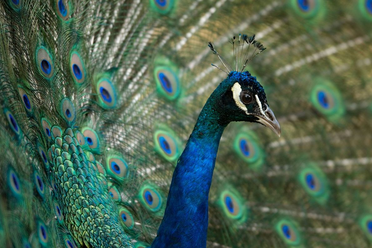 Pavo real. Zoológico Henry Doorly, Omaha, Nebraska, Estados Unidos.