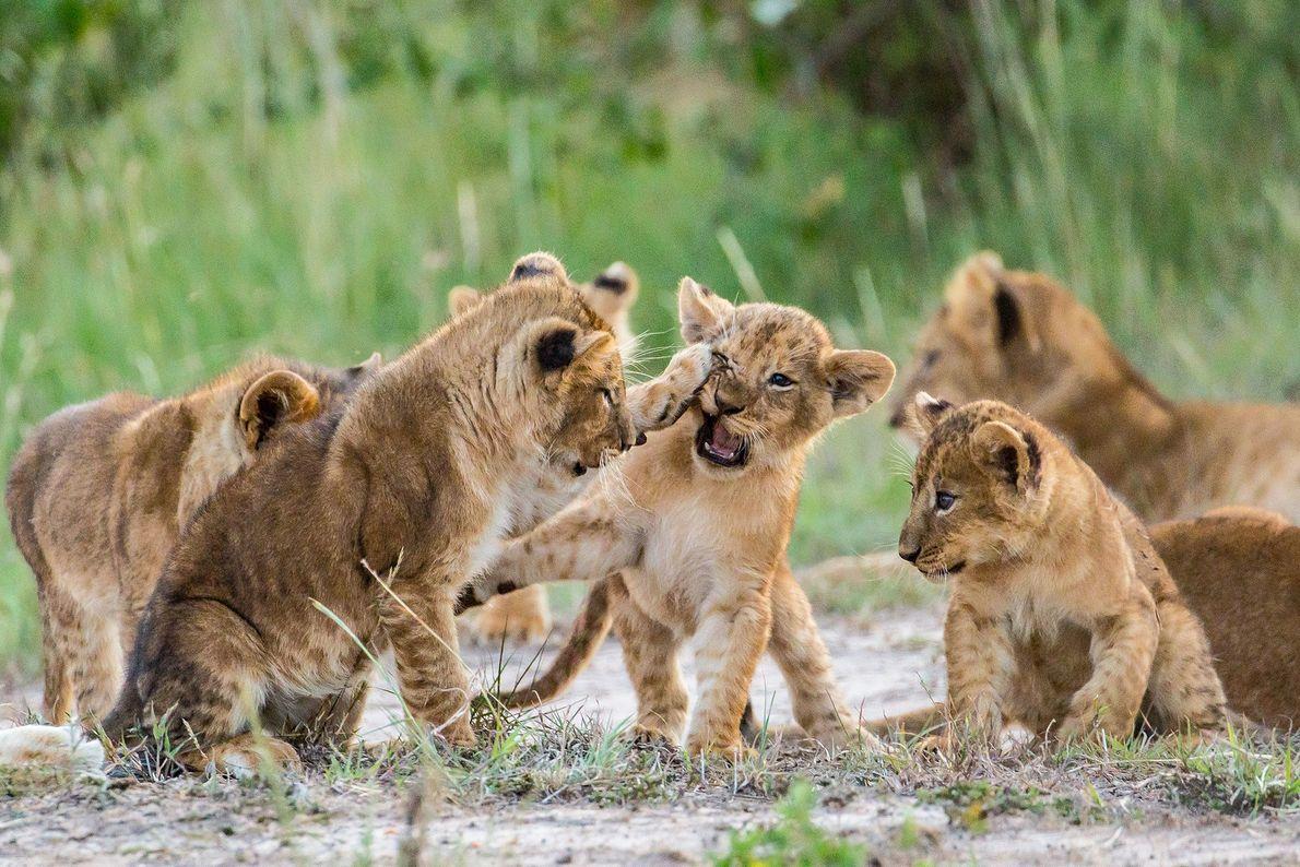 Cachorros de león juegan a pelearse en Kenia.
