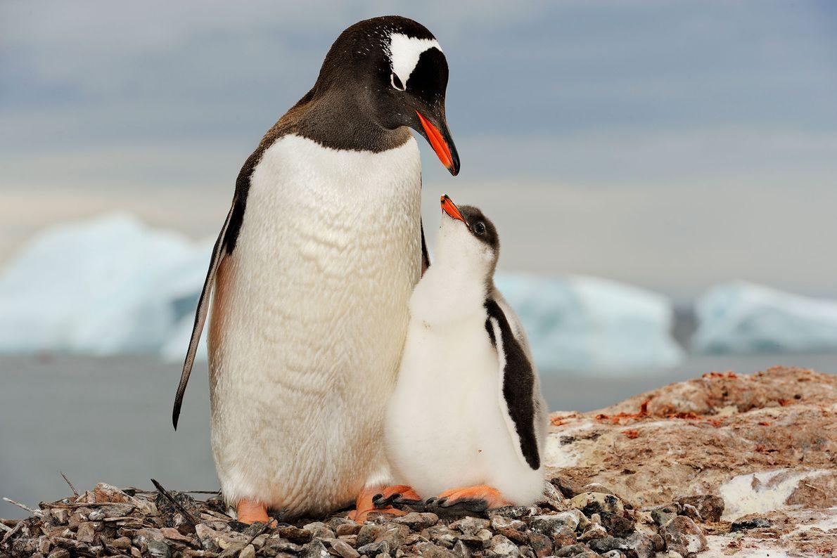 Pingüino juanito con su cría. Antártida.