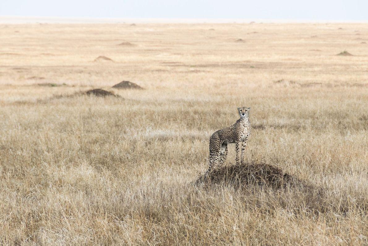 Guepardo. Ngorongoro, Arusha, Tanzania.