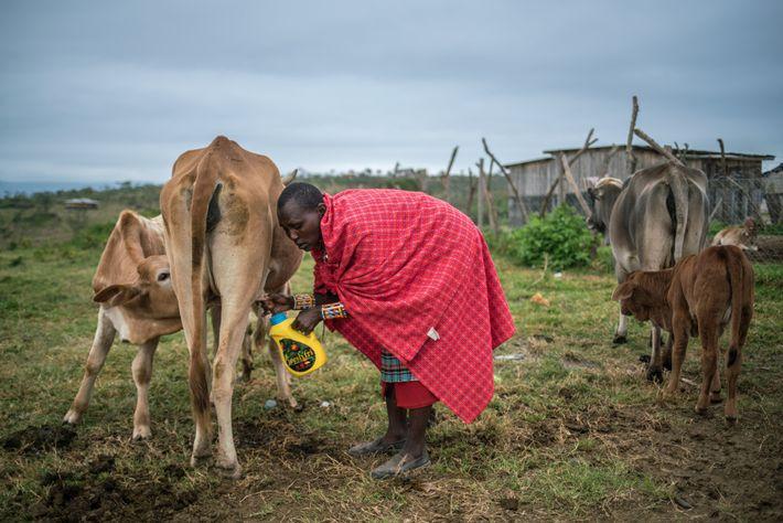 Mary Shaa, una mujer masai, ordeña una vaca antes de preparar el té matutino de su ...