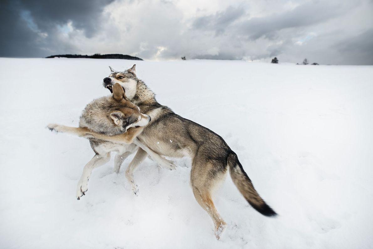 Lobos se enfrentan en Suiza.