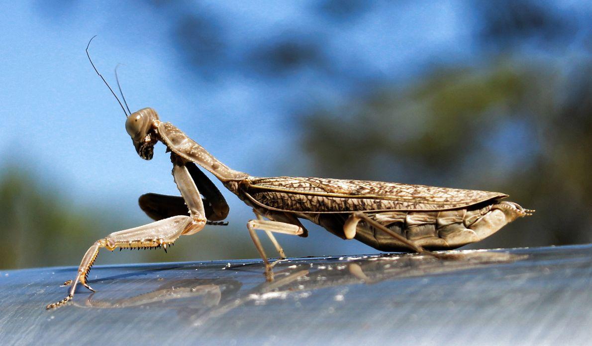 Mantis. Griffin, Queensland, Australia.