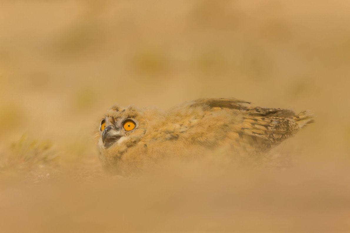 Búho del desierto.